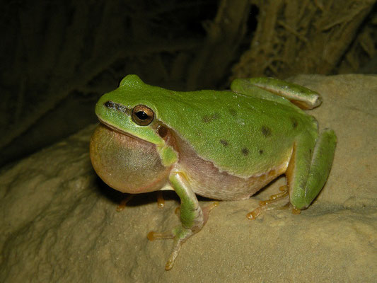 Lemon-yellow Tree Frog (Hyla savignyi) calling male