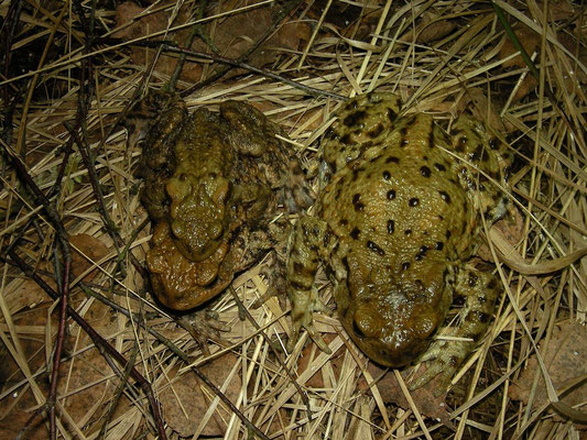 A massive female Common Toad (Bufo bufo) next to a more normal sized female in amplexus.
