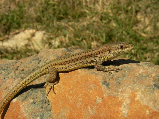 Vaucher's Wall Lizard (Podarcis vaucheri) male, Matalascañas, Spain, February 2016