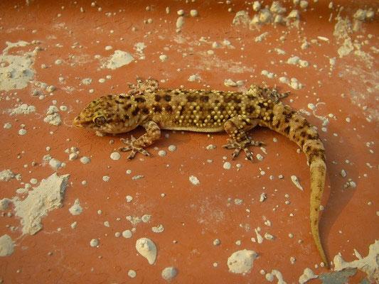 Turkish Gecko (Hemidactylus turcicus)