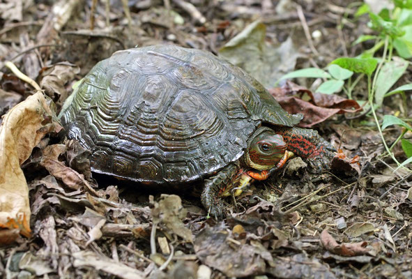 The aptly named Painted Wood Turtle (Rhinoclemmys pulcherrima)