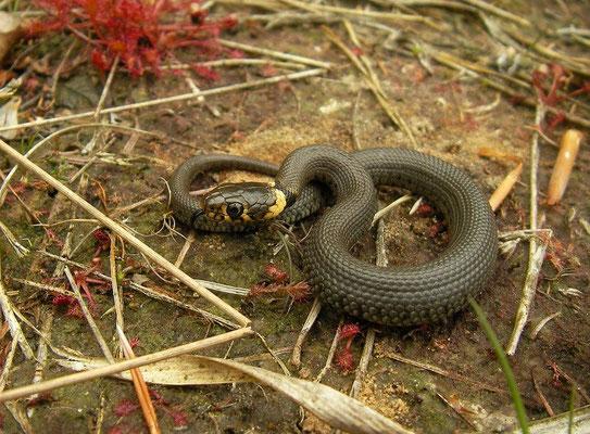 Grass Snake (Natrix natrix) juvenile