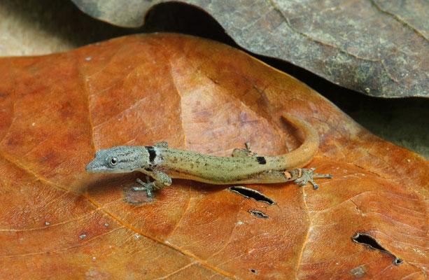 Collared Dwarf Gecko (Sphaerodactylus glaucus)