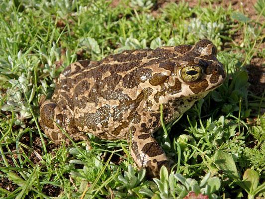 African Green Toad (Bufotes boulengeri)