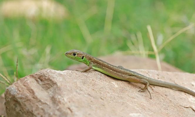 Western Green Lizard (Lacerta bilineata)  juvenile