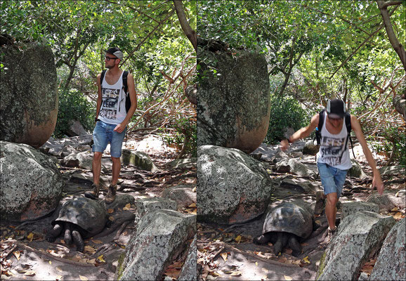 The island is littered with tortoises.