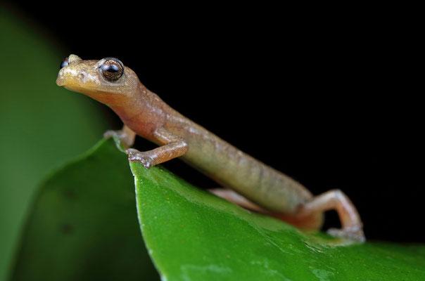 Engelhardt's Mushroomtongue Salamander (Bolitoglossa engelhardti)