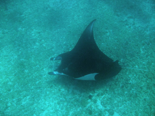 Giant Oceanic Manta Ray (Manta birostris)