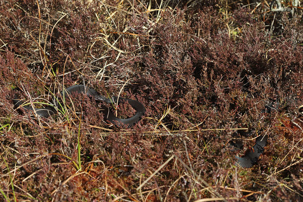 Two male Adders (Vipera berus), basking side by side.