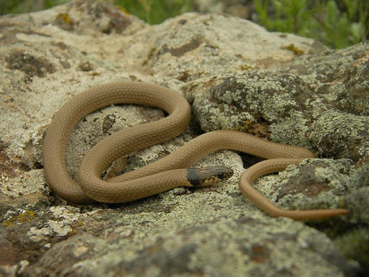 Collared Dwarf Snake (Eirenis collaris)