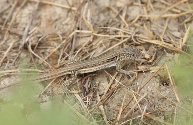 Central Asian Racerunner (Eremias velox