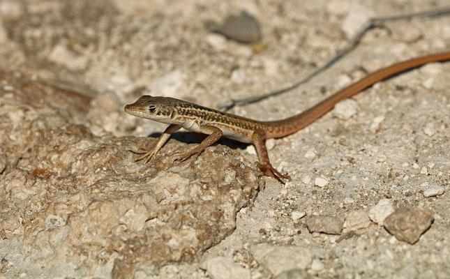 Namaqua Sand Lizard (Pedioplanis namaquensis)