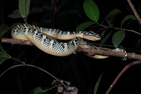 Wagler's Pitviper (Tropidolaemus wagleri) female
