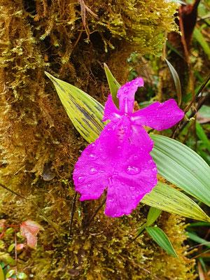 Stunning orchid (Sobralia macrantha) #1 © Jelmer Groen