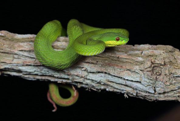 White-lipped Island Pitviper (Cryptelytrops insularis) is usually green like this individual from Rinca.