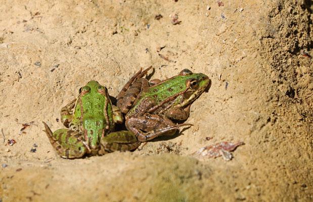 Marsh Frogs (Pelophylax ridibundus)
