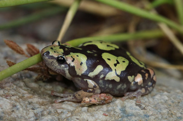 Marbled Rubber Frog (Phrynomantis annectens) with aberrant colouration.