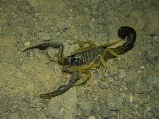 Scorpion (Hottentotta jayakari)