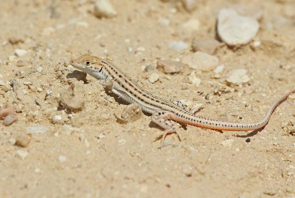 Arnold's Fringe-fingered Lizard (Acanthodactylus opheodurus)