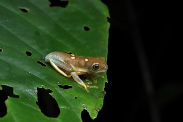 Orange-sided Gliding Leaf Frog (Agalychnis spurrelli) metamorph