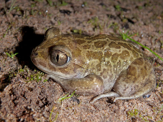 "Moroccan Spadefoot Toad (Pelobates varaldii), the ""spade"" at the hindfoot is clearly visible."