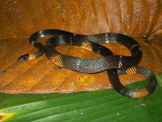 The fake one: Black-headed Caligo Snake (Oxyrhopus melanogenys)