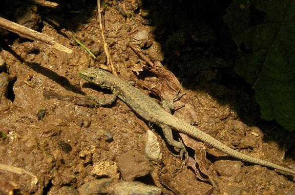 Steiner's Lizard (Darevskia steineri)