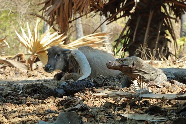 Komodo Dragon patiently waiting alongside his prey.