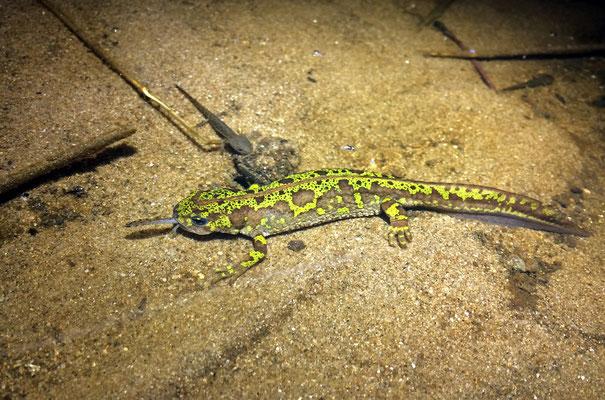 Marbled Newt (Triturus marmoratus) female preying upon a Fire Salamander (Salamandra salamandra) larva.
