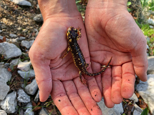 Yes! The first Karpathos Salamander (Lyciasalamandra helverseni) of the trip!