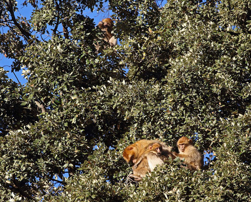 Barbary Macaques (Macaca sylvanus) enjoying the sun.