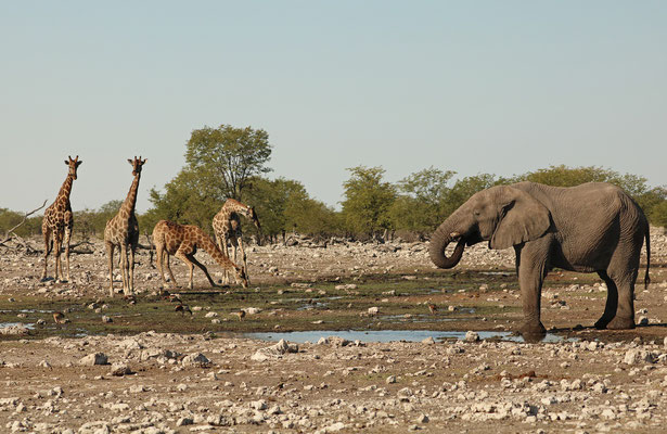 Giraffes and Elephant sharing a waterhole at Rietfontein.
