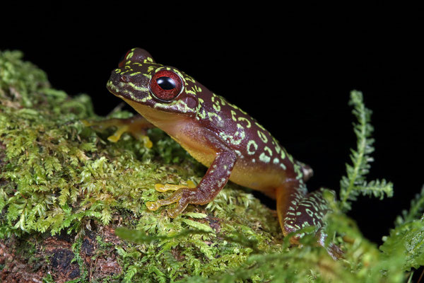 Copan Brook Frog (Duellmanohyla soralia)