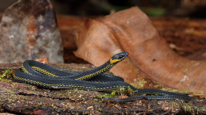 An exceptionally beautiful Ringneck Coffee Snake (Ninia diademata)