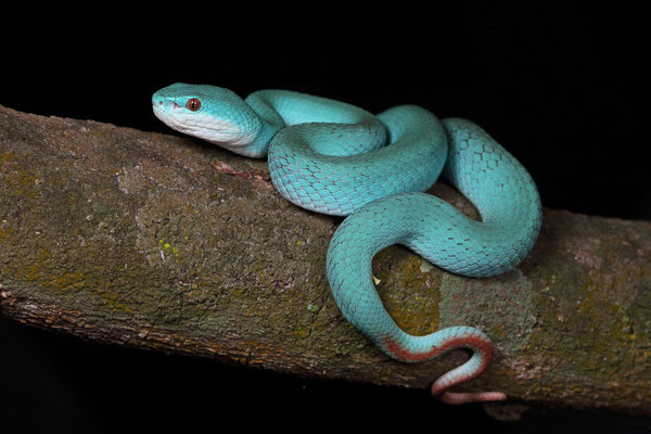 White-lipped Island Pitviper (Cryptelytrops insularis) is only blue like this on Komodo.