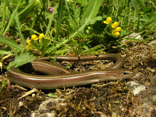 Italian Three-toed Skink (Chalcides chalcides), Calabria, Italy, May 2014