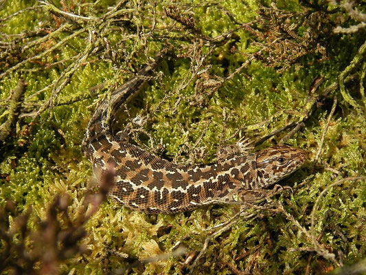 Sand Lizard (Lacerta agilis) female