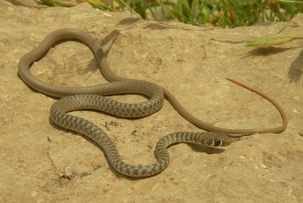 Braid Snake (Platyceps rhodorachis ladacensis)