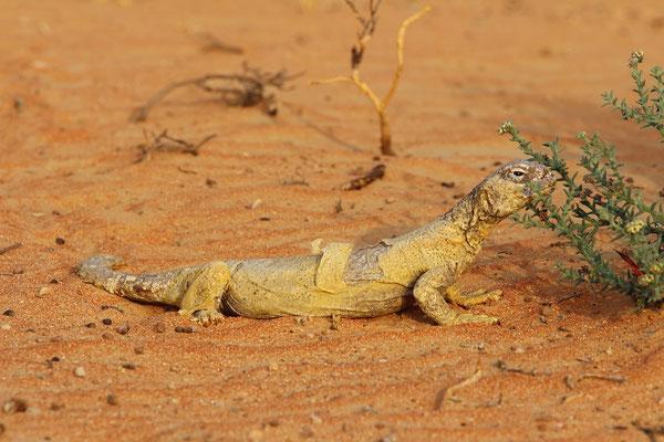 Egyptian Spiny-tailed Lizard (Uromastyx aegyptia leptieni)