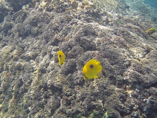 Zanzibar Butterflyfish (Chaetodon zanzibariensis)