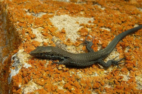 Lilford's Wall Lizard (Podarcis lilfordi fahrae) juvenile, Ille de Porrassa, Mallorca, Spain, July 2011