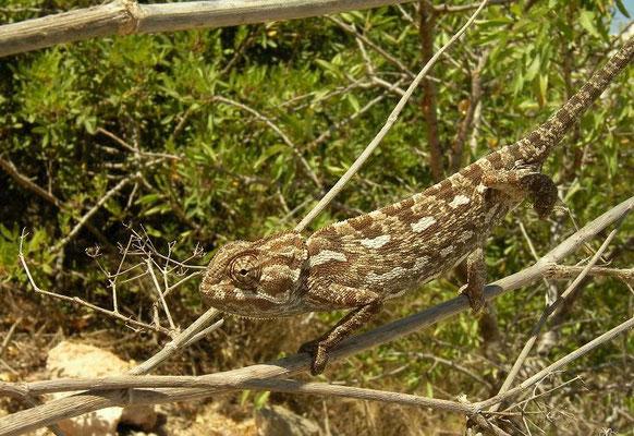 Mediterranean Chameleon (Chamaeleo chamaeleon), Malta, August 2010