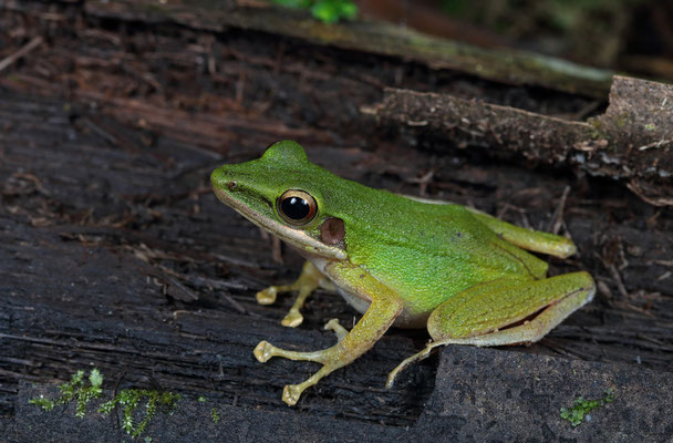 Copper-cheeked Frog (Chalcorana chalconota)