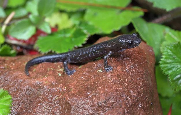 Franklin's Mushroomtongue Salamander (Bolitoglossa franklini) juvenile.