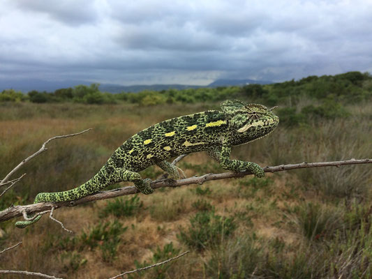 African Chameleon (Chamaeleo africanus), Peloponnese, Greece, July 2017