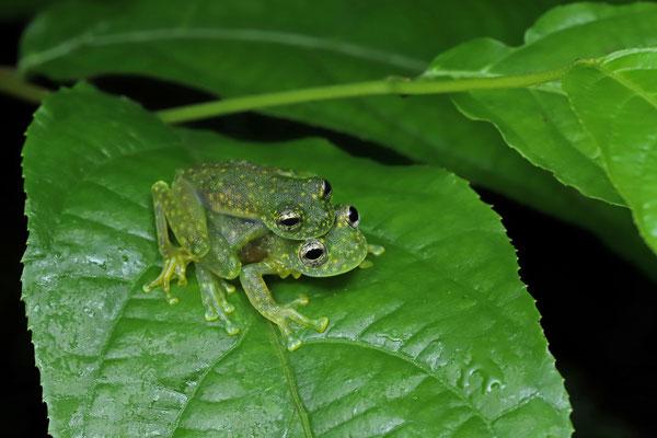 Cascade Glass Frog (Sachatamia albomaculata) amplectant couple