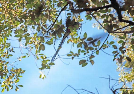 Resplendent Quetzal (Pharomachrus mocinno) in flight.