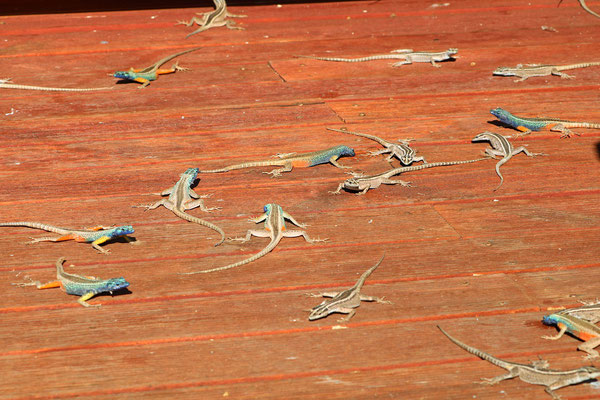 Augrabies Flat Lizards (Platysaurus broadleyi) basking on one of the observation decks.