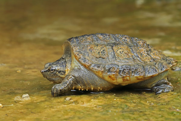 South American Snapping Turtle (Chelydra acutirostris) baby