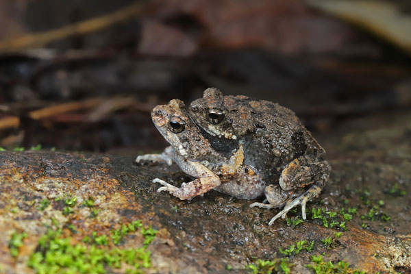 Túngara Frog (Engystomops pustulosus) amplectant pair.